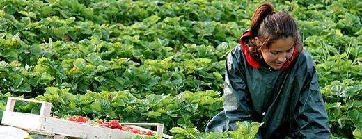 Erdbeerpflückerin