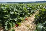 Erdbeeren Selbstpflücke